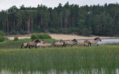 Dzikie Koniki polskie w Roztoczańskim Parku Narodowym