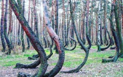 Krzywy Las w Gryfinie