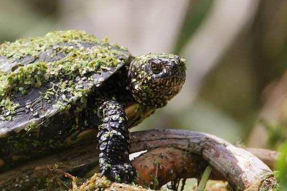 Rezerwaty żółwi błotnych w Polsce
